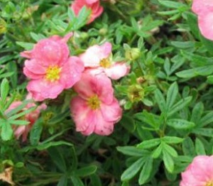 Лапчатка кустарниковая Тру Пинк / Potentilla fruticosa True Pink, С2, шт