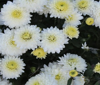 Хризантема мультифлора Бранперфест Айс / Chrysanthemum multiflora Branperfect Ice, белая, С2