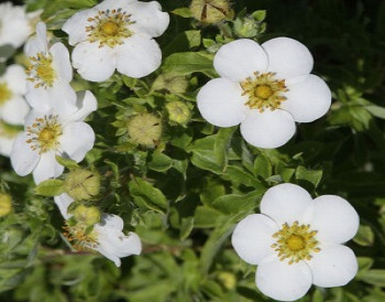 Лапчатка кустарниковая Маунт Эверест / Potentilla fruticosa Mount Everest, С2