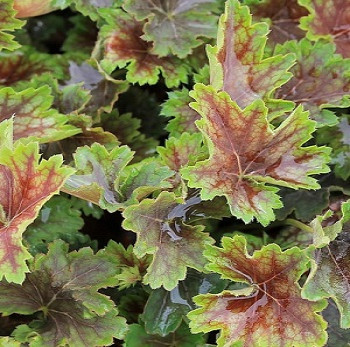 Гейхера Марвелос Марбл / Heuchera Marvelous Marbl С1,5