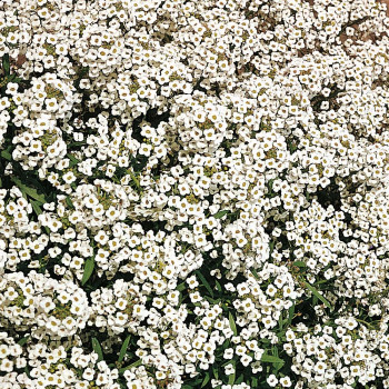 Алиссум Вондерленд Вайт / Alyssum Wonderland White, К6