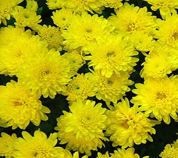 Хризантема мультифлора Бранфонтейн Йелоу / Chrysanthemum Branfountain Yellow, желтая, С2