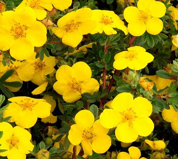 Лапчатка кустарниковая Голдстар / Potentilla fruticosa Goldstar, С2, шт