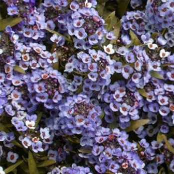Алиссум Вондерленд Блю / Alyssum Wonderland Blue, К6
